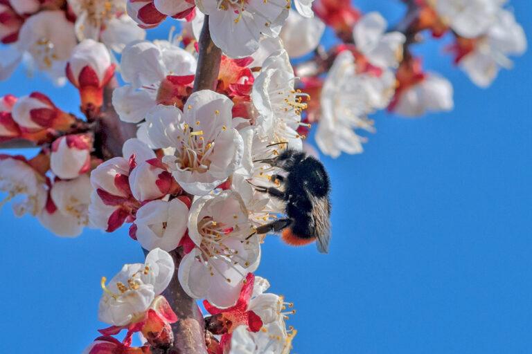 35 aprikosenblueten insekten