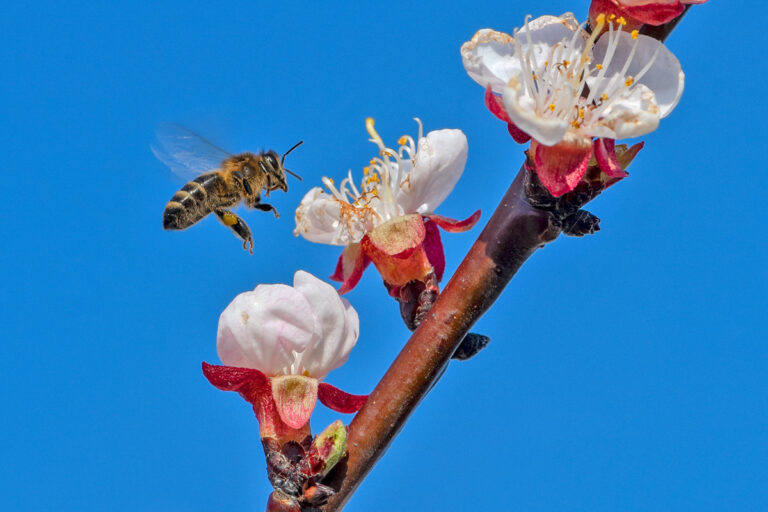 37 aprikosenblueten insekten