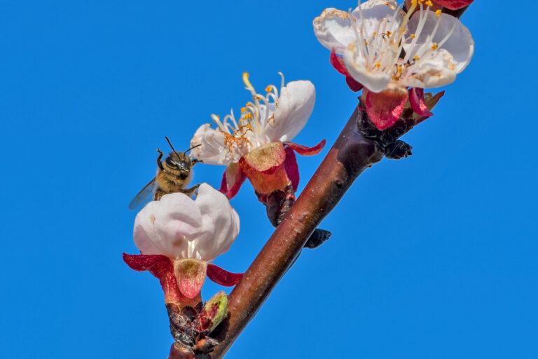 41 aprikosenblueten insekten
