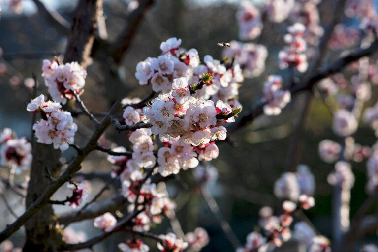 42 aprikosenblueten insekten