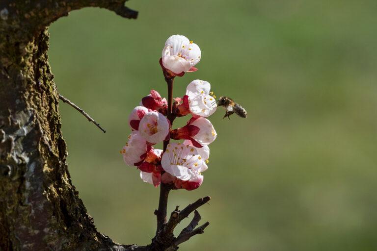 44 aprikosenblueten insekten