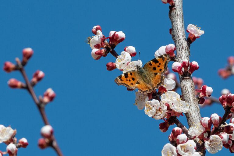 45 aprikosenblueten insekten