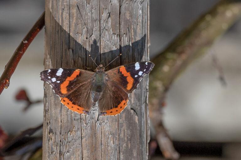 46 aprikosenblueten insekten