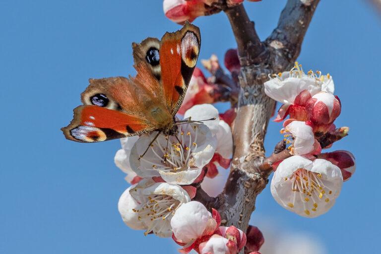 47 aprikosenblueten insekten