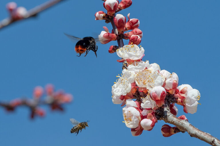 48 aprikosenblueten insekten