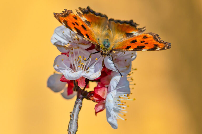 49 aprikosenblueten insekten
