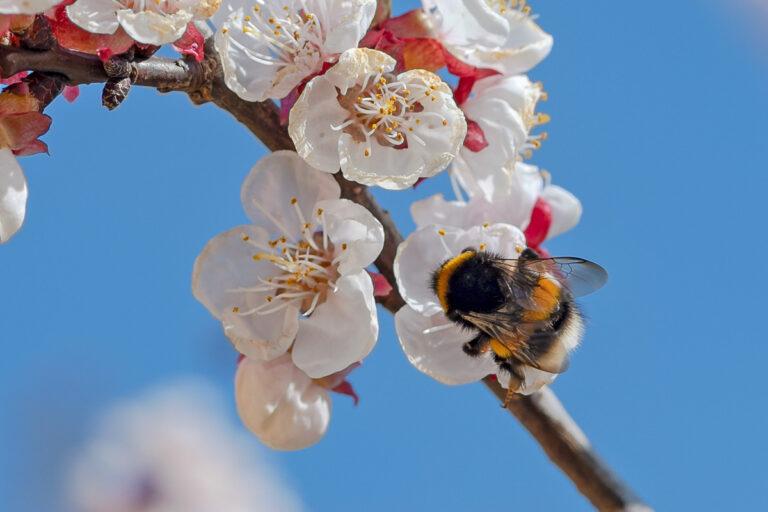 50 aprikosenblueten insekten