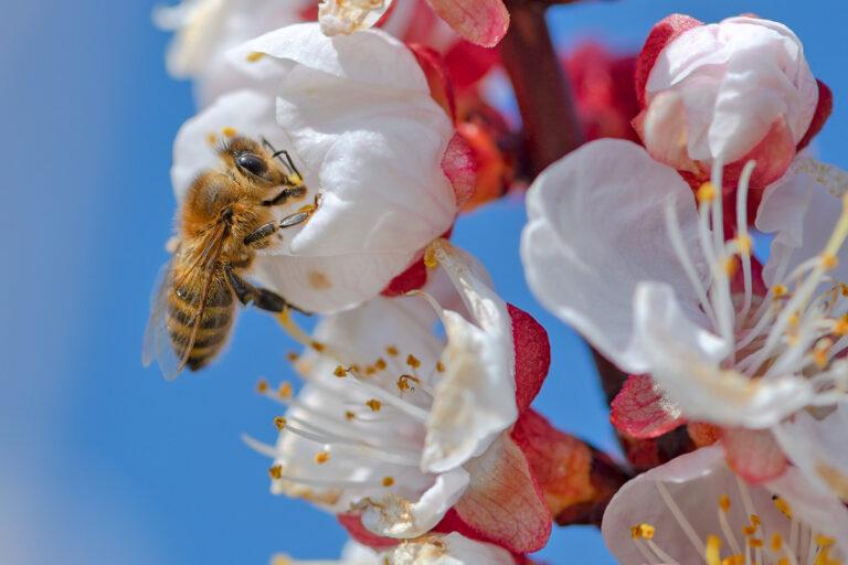 51 aprikosenblueten insekten