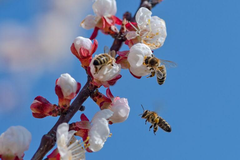 52 aprikosenblueten insekten