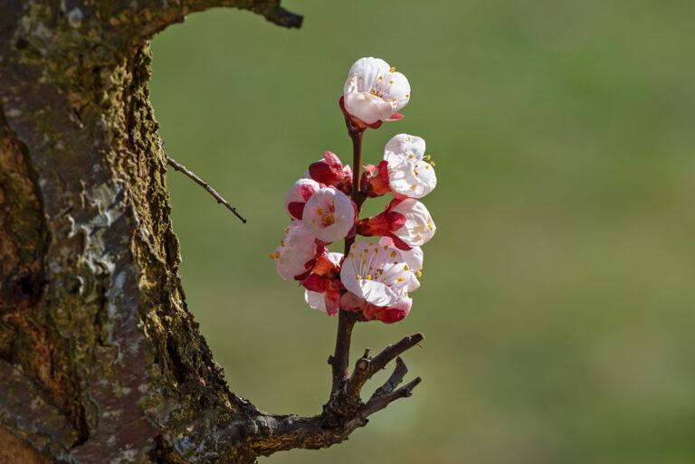 53 aprikosenblueten insekten