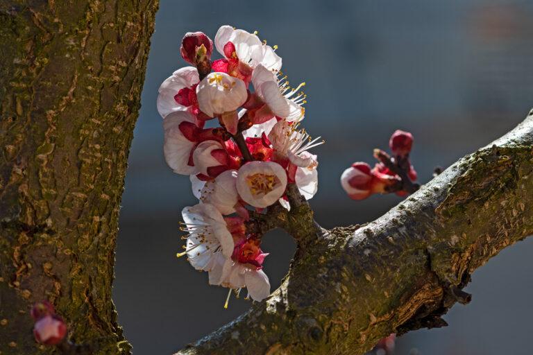54 aprikosenblueten insekten
