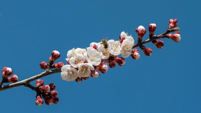 aprikosenblueten