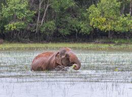 wildlife sri lanka asiatischer elefant