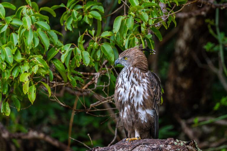 wildlife sri lanka schopfadler