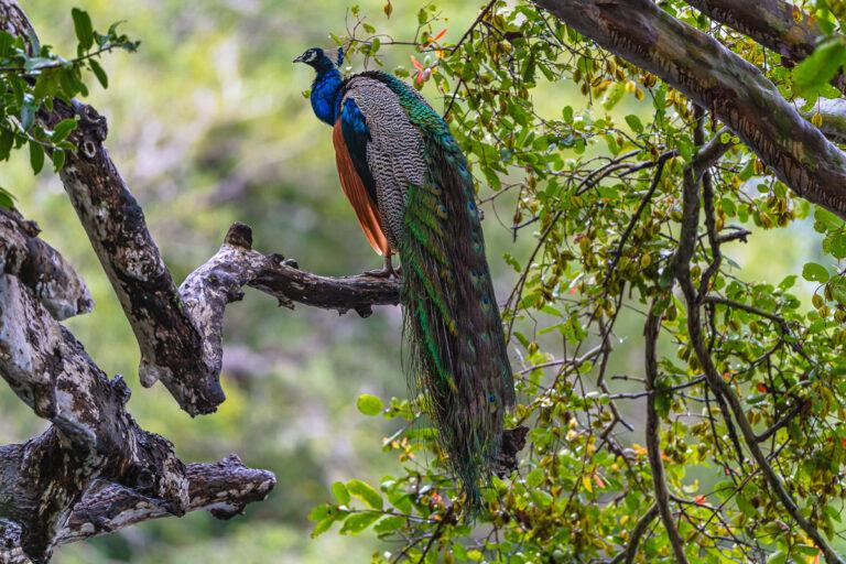 wildlife sri lanka pfau