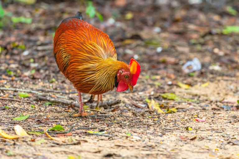 wildlife sri lanka dschungelhahn