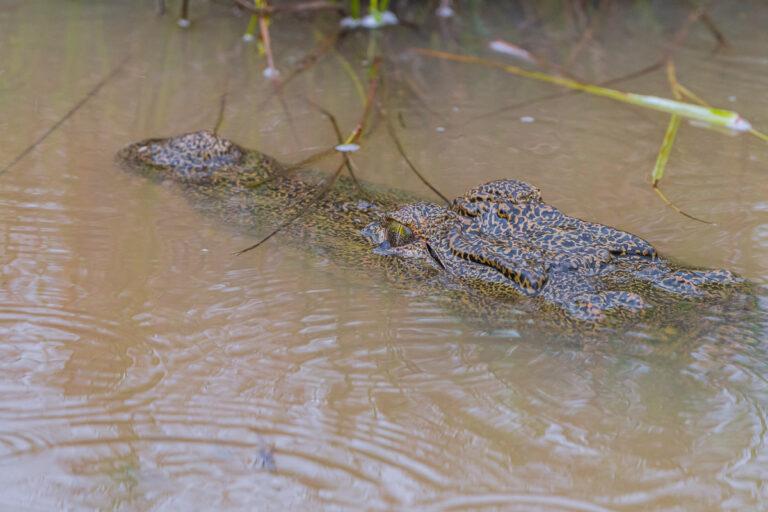 wildlife sri lanka krokodil