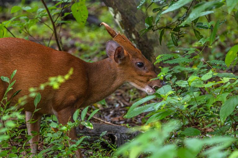 wildlife sri lanka muntjak, barking deer