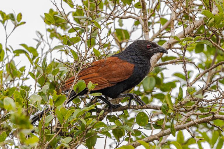 wildlife sri lanka heckenkukuck, greater coucal