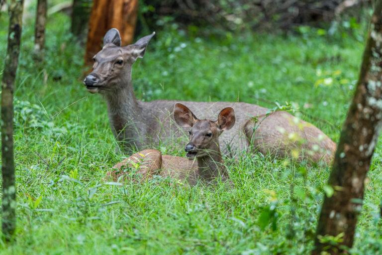 wildlife sri lanka sambar hirsche