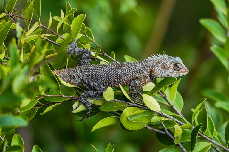 wildlife sri lanka reptil