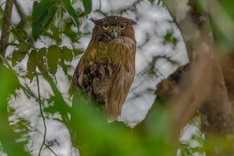 wildlife sri lanka braune fischeule