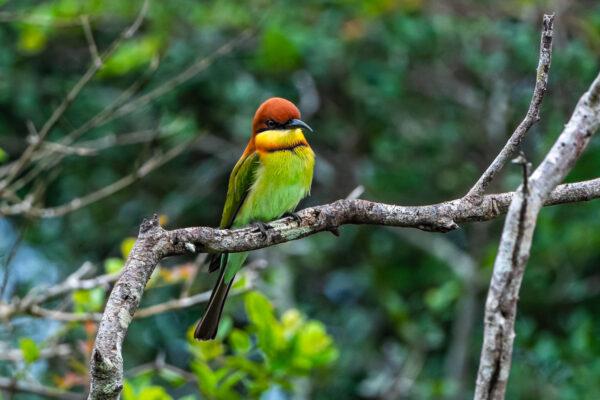 wildlife sri lanka braunkopfspint bienenfresser