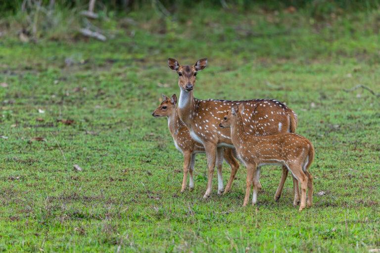 wildlife sri lanka axishirsch