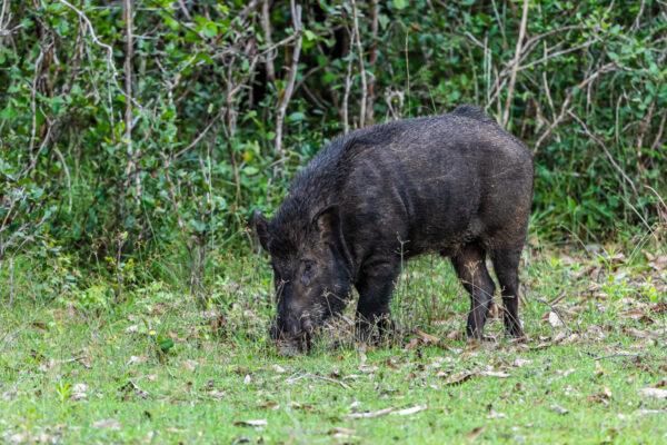wildlife sri lanka wildschwein