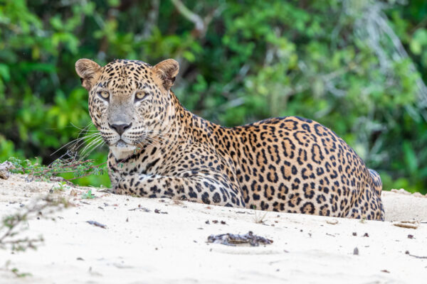 wildlife sri lanka leopard
