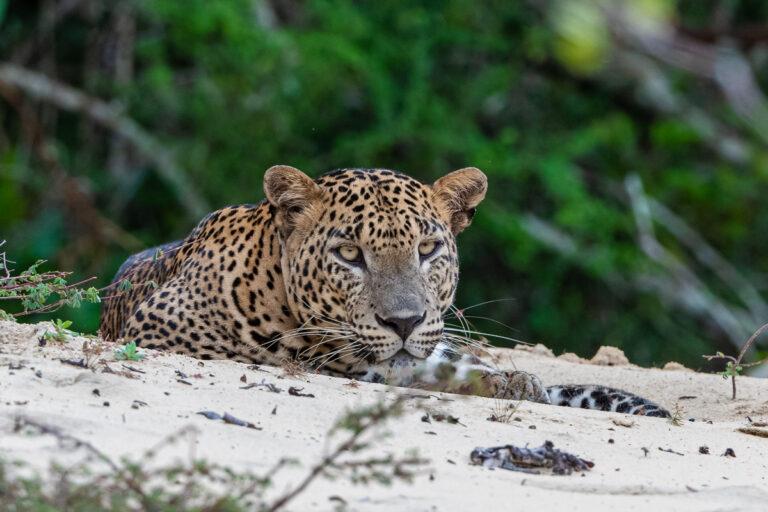 wildlife sri lanka leopard