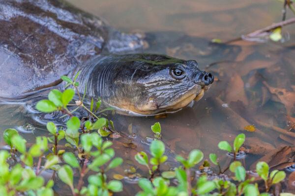 wildlife sri lanka lederschildkröte