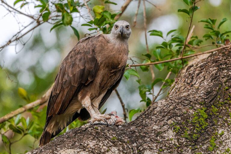 wildlife sri lanka graukopf fischadler