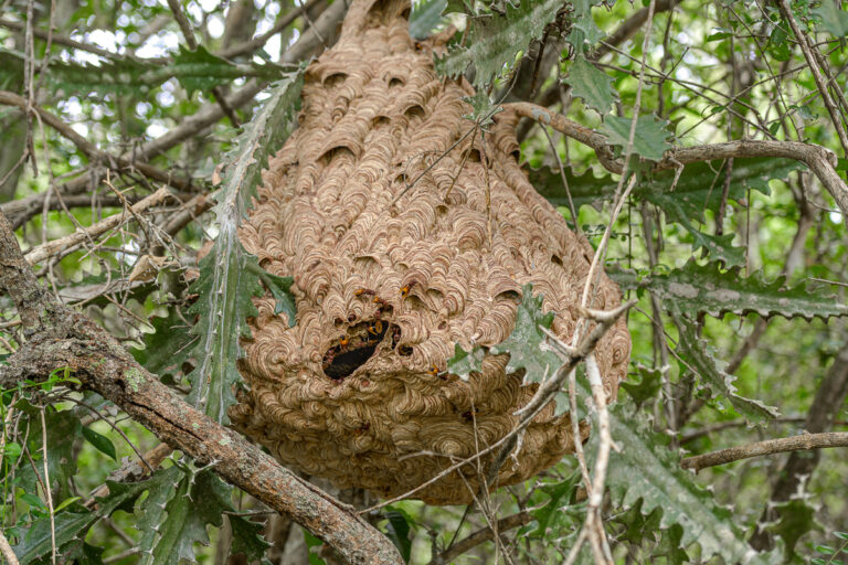 wildlife sri lanka wespennest