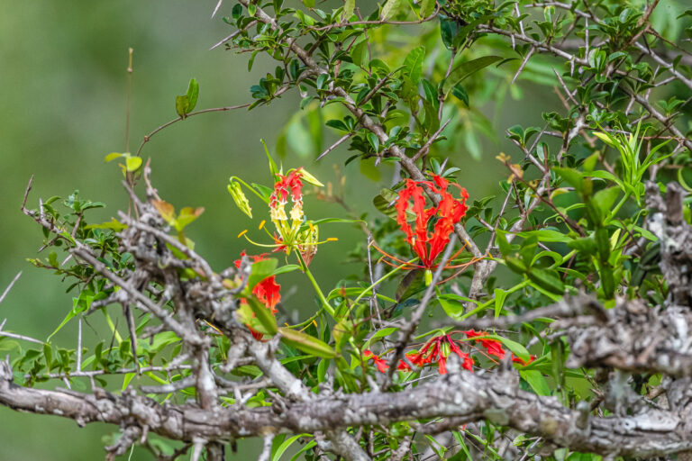 wildlife sri lanka glory lily, gloriosa superba