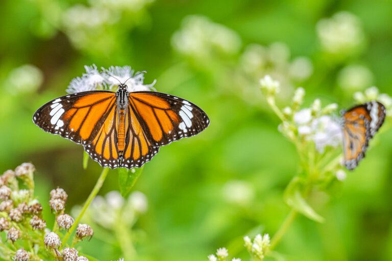 wildlife sri lanka monarch schmetterling