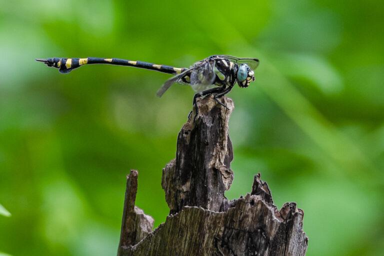 wildlife sri lanka libelle