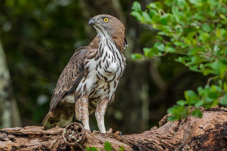 wildlife sri lanka haubenadler juvenil