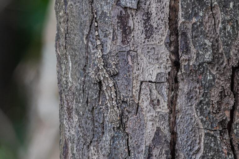 wildlife sri lanka rindengecko