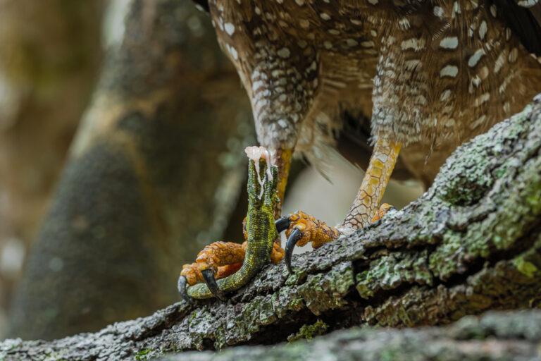 wildlife sri lanka schlangenadler