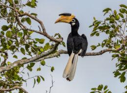 hornvogel zentralafrika