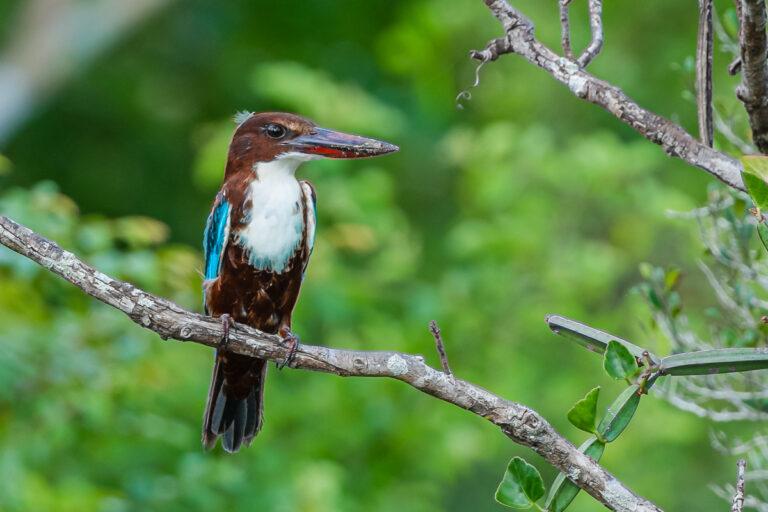 wildlife sri lanka eisvogel
