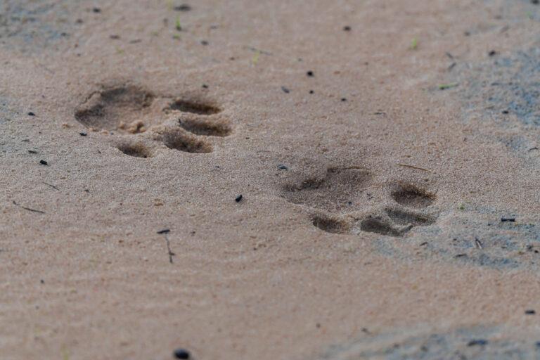 wildlife sri lanka leopardenspuren