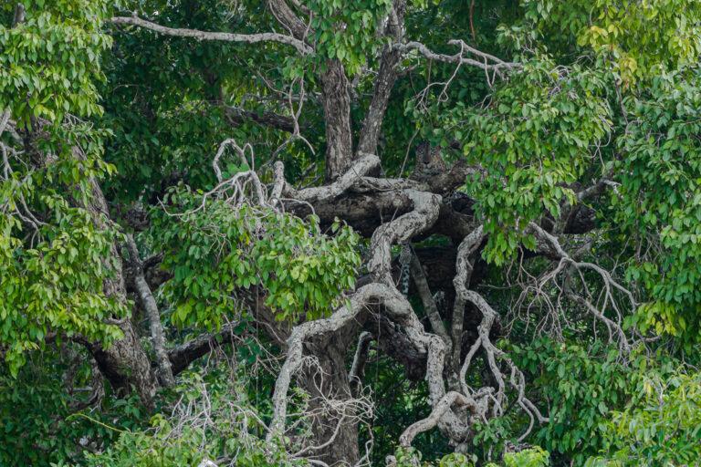 wildlife sri lanka leopard im baum