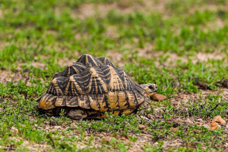wildlife sri lanka sternschildkröte
