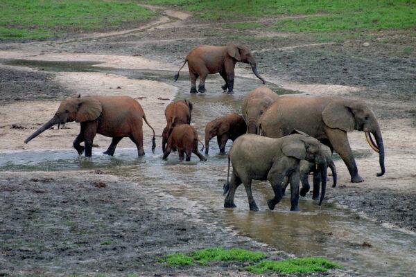 elefanten am bai zentralafrika