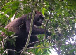 flachland gorilla zentralafrika